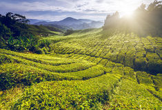 Piantagione di tè in Malesia Fotografie Stock