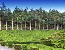 Piantagione di tè mauritius Fotografia Stock