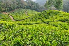 Piantagione di tè in Munnar Fotografia Stock Libera da Diritti
