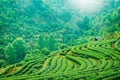 Piantagione di tè negli altopiani di Chiang Mai Fotografia Stock