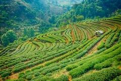 Piantagione di tè negli altopiani di Chiang Mai Fotografia Stock Libera da Diritti