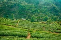 Piantagione di tè negli altopiani di Chiang Mai Fotografie Stock