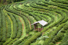 Piantagione di tè nel Doi Ang Khang, Chiang Mai, Tailandia Immagini Stock