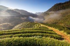 Piantagione di tè nel Doi Ang Khang, Chiang Mai, Tailandia Fotografia Stock Libera da Diritti