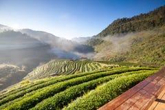 Piantagione di tè nel Doi Ang Khang, Chiang Mai, Tailandia Fotografia Stock