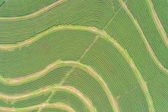 Piantagione di tè nel Nord della Tailandia Vista aerea dal dro di volo Fotografia Stock