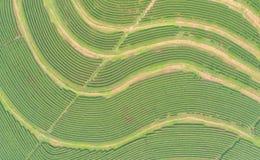 Piantagione di tè nel Nord della Tailandia Vista aerea dal dro di volo Fotografie Stock Libere da Diritti