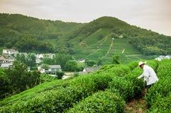 Piantagione di tè nel villaggio Hangzhou, Cina di Meijiawu Fotografia Stock Libera da Diritti
