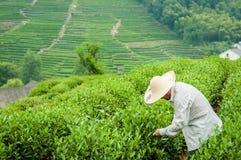 Piantagione di tè nel villaggio Hangzhou, Cina di Meijiawu Fotografia Stock