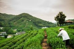 Piantagione di tè nel villaggio Hangzhou, Cina di Meijiawu Immagine Stock Libera da Diritti