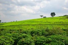 Piantagione di tè nell'Uganda Fotografia Stock