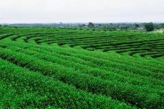 Piantagione di tè nella stagione delle pioggie Immagini Stock Libere da Diritti