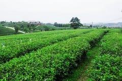 Piantagione di tè nella stagione delle pioggie Immagine Stock Libera da Diritti