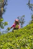 Piantagione di tè in Nuwara, Sri Lanka Immagine Stock Libera da Diritti