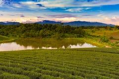 Piantagione di tè sopra il pendio di montagna con il fondo della montagna Fotografie Stock Libere da Diritti