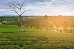 Piantagione di tè sopra l'alta collina Fotografie Stock Libere da Diritti