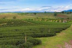 Piantagione di tè sopra la montagna Immagine Stock