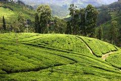 Piantagione di tè in Sri Lanka Fotografia Stock Libera da Diritti