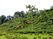 piantagione di tè in Srimangal, Bangladesh fotografie stock