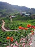 Piantagione di tè sugli altopiani Immagini Stock