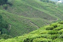 Piantagione di tè sul pendio di montagna Fotografia Stock