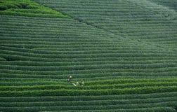 Piantagione di tè sul plateau di Moc Chau nel Vietnam Fotografie Stock