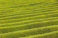 Piantagione di tè sull'isola di Miguel del sao, Azzorre, Portogallo Immagine Stock