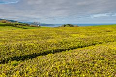 Piantagione di tè sulla costa del nord dell'isola di sao Miguel, A fotografia stock