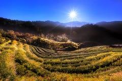 Piantagione di tè sulla mattina nebbiosa con il raggio del sole a Doi Ang Khang Fotografie Stock