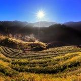 Piantagione di tè sulla mattina nebbiosa con il raggio del sole a Doi Ang Khang Fotografia Stock Libera da Diritti