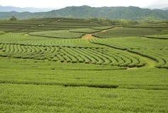 Piantagione di tè, Tailandia Fotografie Stock Libere da Diritti