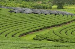 Piantagione di tè, Tailandia Fotografia Stock