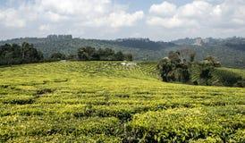 Piantagione di tè in Tanzania fotografie stock