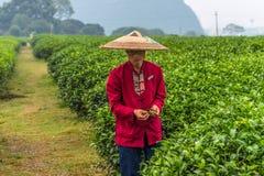 Piantagione di tè tradizionale a Guilin, Cina Immagine Stock