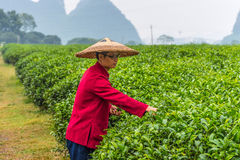 Piantagione di tè tradizionale a Guilin, Cina Fotografia Stock Libera da Diritti
