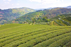 Piantagione di tè verde Immagini Stock