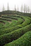 Piantagione di tè verde Fotografie Stock Libere da Diritti