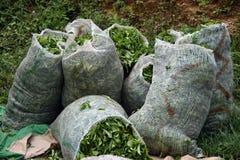 Piantagione di tè verde Fotografie Stock