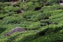 Piantagione di tè verde Fotografia Stock