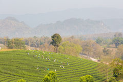 Piantagione di tè verde di Chouifong Tailandia Immagini Stock