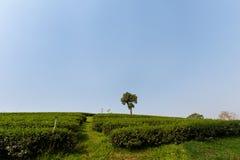 Piantagione di tè verde di Chouifong Tailandia Fotografia Stock Libera da Diritti