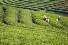 Piantagione di tè verde di Chouifong Tailandia Fotografie Stock
