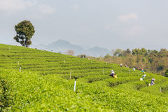 Piantagione di tè verde di Chouifong Tailandia Fotografia Stock