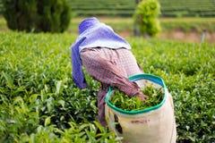 Piantagione di tè verde di Chouifong Tailandia Immagine Stock