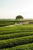 Piantagione di tè verde di O'Sulloc, Corea del Sud Fotografia Stock Libera da Diritti