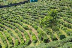Piantagione di tè verde naturale del paesaggio Immagini Stock Libere da Diritti