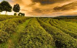 Piantagione di tè verde sopra il pendio di montagna Fotografia Stock Libera da Diritti