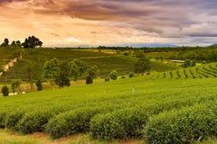 Piantagione di tè verde sopra il pendio di montagna Fotografie Stock Libere da Diritti