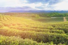 Piantagione di tè verde sopra il pendio di montagna con il fondo dell'orizzonte della montagna Immagine Stock