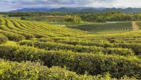 Piantagione di tè verde sopra l'alta collina Fotografia Stock Libera da Diritti